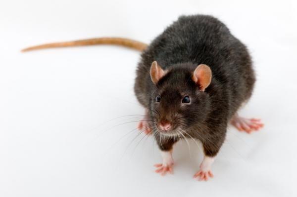 (A combination of drugs, electrical stimulation and regular exercise can enable paralyzed rats to walk and even run again, researchers have discovered. ) 美国加州大学的研究人员发现,将瘫痪的老鼠置于跑步机上的时候,药物,电刺激以及规律运动的联合使用,能够使其重新行走,甚至再次跑动。 在《Nature Neuroscience》的在线版本上,他们发布了这