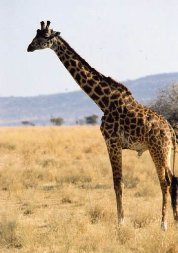 但科学家发现,长颈鹿其实更喜欢某些特定的树叶,而不是特别高的树木的