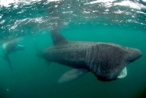 科学家发现失踪多年的世界第二大鲨鱼