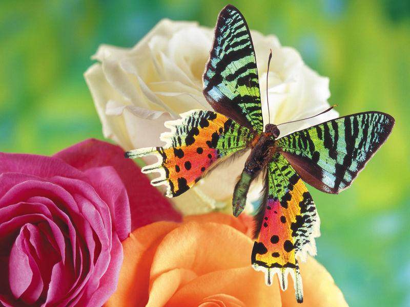 蝴蝶翅膀的双重功能:吸引异性和躲避天敌 生命
