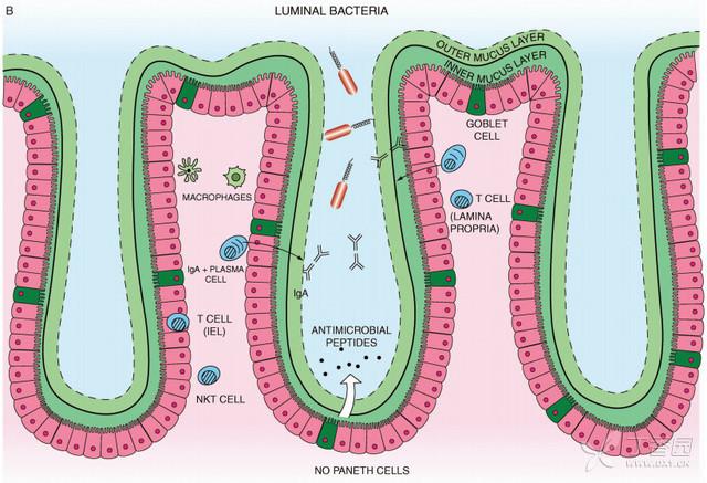 大肠粘膜免疫系统示意图(图三)