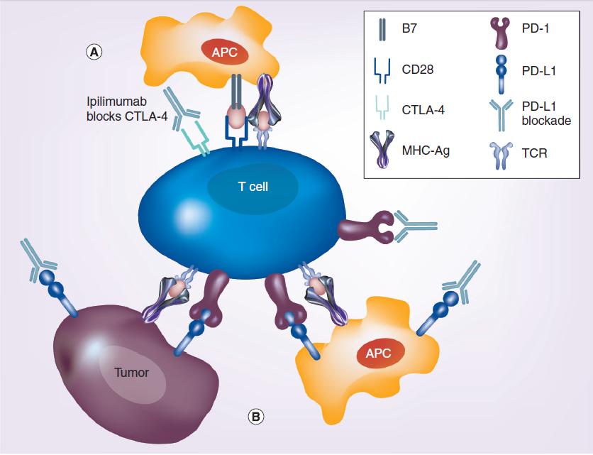 图 1 伊匹单抗是以CTLA 4为靶向的人源性单抗,其作用是清除阻碍T细胞增殖的因素,使免疫系统产生清除肿瘤肽的反应。在黑色素瘤和前列腺癌中,这种免疫疗法延长了患者的缓解时间,因而促使研究者使用这种疗法对包括淋巴瘤在内的其他肿瘤进行治疗。在对难治性、复发性非霍奇金淋巴瘤的一期临床研究中,患者对3 mg/kg 的伊匹单抗耐受性好,使用该疗法的患者,缓解期延长19-31个月。进行异基因造血干细胞移植的患者似乎对该药也有较好的耐受性,因为该药并没有增加移植物抗宿主病的发生。这样令人兴奋的研究结果,促使研究者将