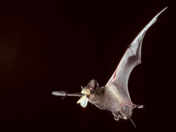 蝙蝠变声应对人类噪音污染