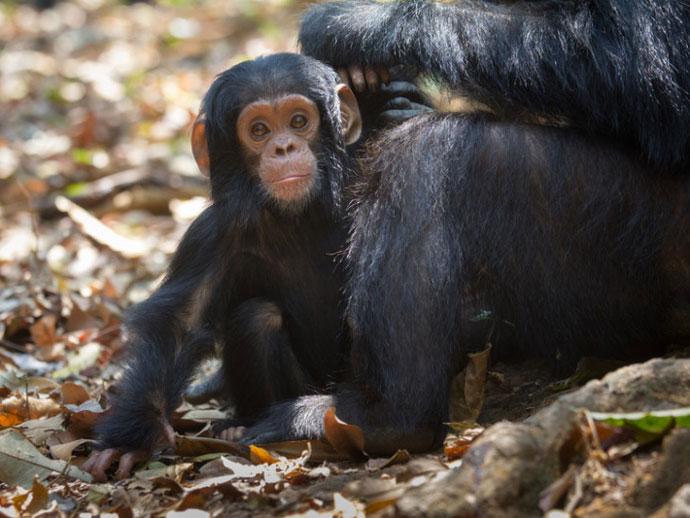 黑猩猩的社会接触