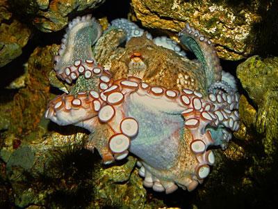 不缠绕的生活——章鱼的吸盘具有独特的感知机制