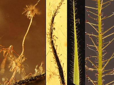波罗的海琥珀中的肉食植物化石