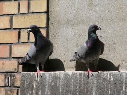 鸽子回家或许靠重力感应