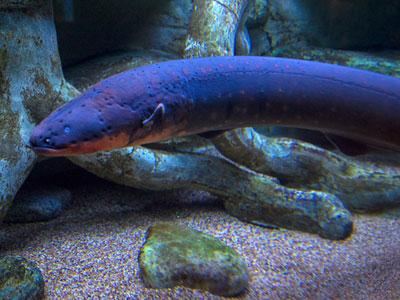 Science:电鳗可对猎物进行遥控