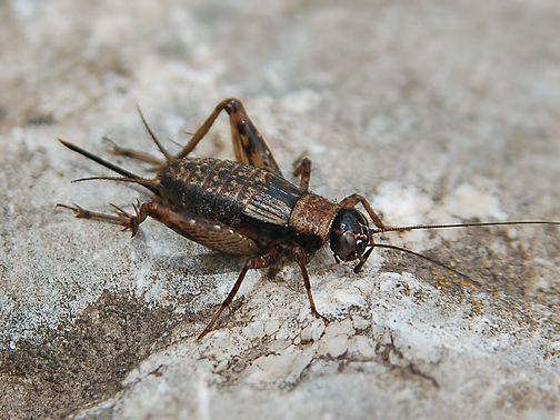 蟋蟀增肥蛛口逃生