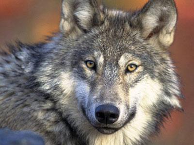 灰狼重被列为北美五大湖区濒危物种