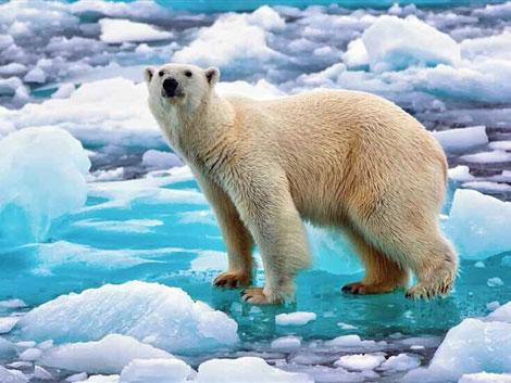 如履薄冰的北极熊