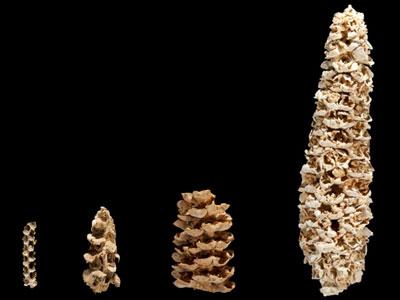 科学家敲定玉米驯化路线