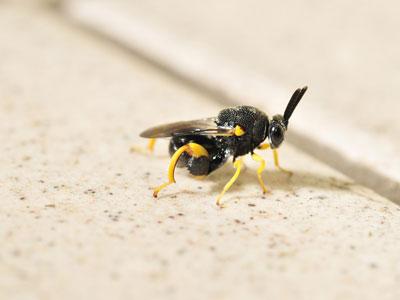 除虫寄生蜂有望实现批量人工繁殖
