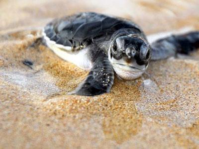 """磁场""""灯塔""""带海龟回家"""