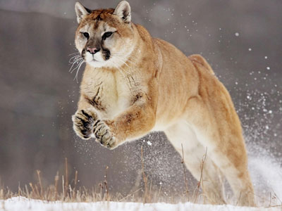 怕人让美洲狮猎鹿更多