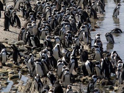 Nature:令研究人员头痛的非洲企鹅