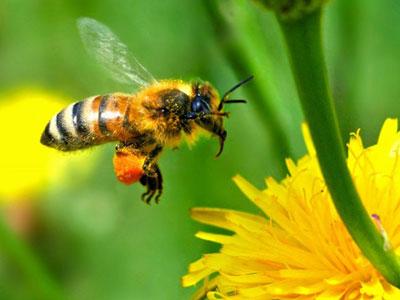 蜜蜂的社会动态与蜂群的崩溃