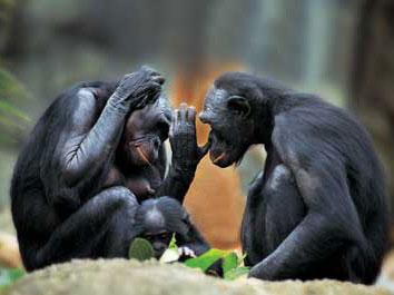 """黑猩猩也能学""""外语"""""""