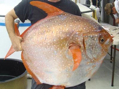 Science:科学家发现世界上第一种温血鱼