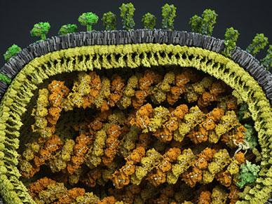 Science:长期被忽视的病毒感染机制