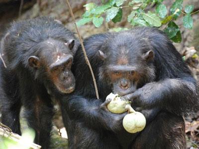 人类肠道微生物多样性远弱于猩猩