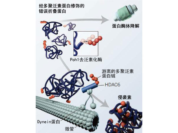 Science:游离泛素蛋白与流感病毒脱衣壳