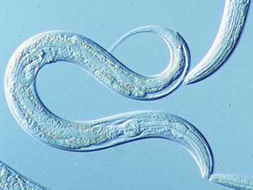 """""""借刀杀敌"""":细菌可动员真菌捕杀自身天敌线虫"""