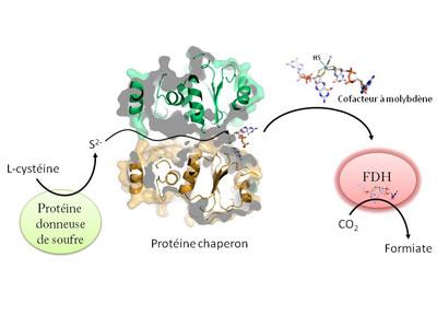 新研究揭示细菌酶制取甲酸机制