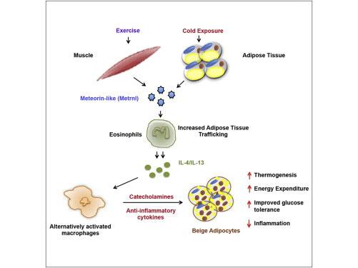 Cell:治疗肥胖从免疫入手