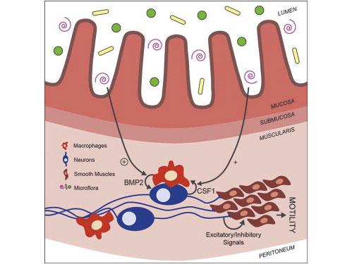 Cell:揭示巨噬细胞新功能