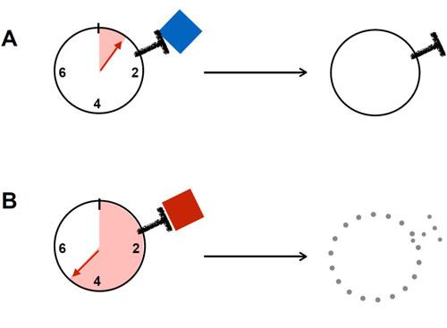 Cell:计时的免疫耐受