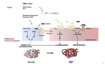 实验模型展示hps病理生理过程