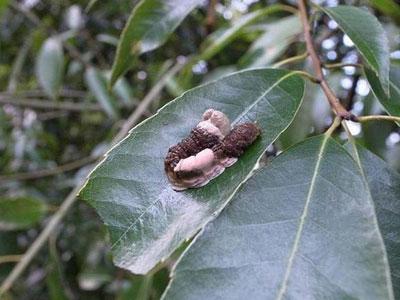 科学家发现一种毛毛虫为了生存不惜模拟鸟粪