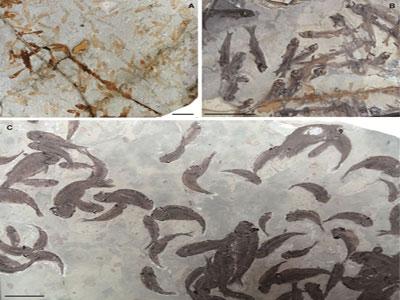 热河生物群埋藏学研究揭示狼鳍鱼生存及埋藏环境