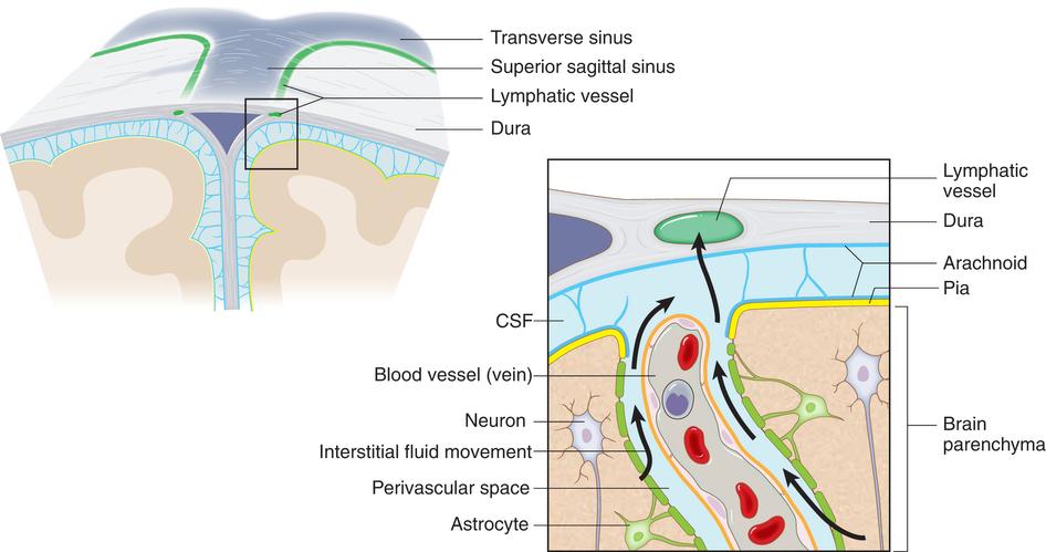 血脑屏障的特殊结构图片