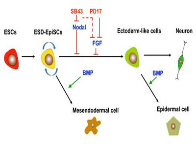 上海生科院等通过抑制Nodal信号获得外胚层前体细胞