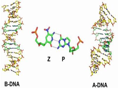 扩展生命的密码,DNA新碱基的发现
