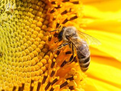 新烟碱类农药会损害亚洲蜜蜂的气味学习