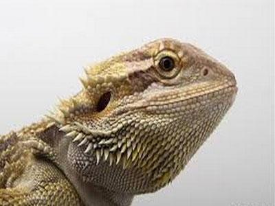 野外蜥蜴或因气候变化性别逆转
