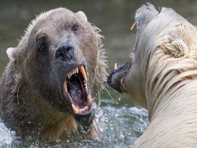 """""""北极灰熊""""这样的杂交动物不该是气候变化的正常产物"""