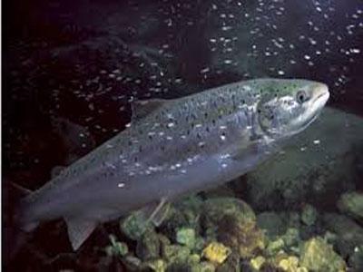 在淡水和咸水中都能生存的大西洋鲑鱼