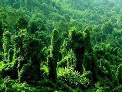 """到本世纪末热带雨林或仅剩""""简版"""""""