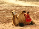 人类普通感冒病毒源自骆驼