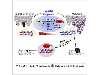 Cell:缺少5-羟甲基胞嘧啶是致死性黑色素瘤的标志