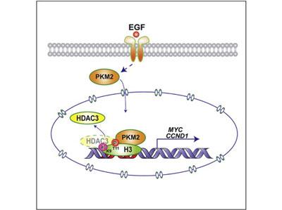 Cell:揭示丙酮酸激酶PKM2磷酸化组蛋白H3并诱发癌症的分子机制