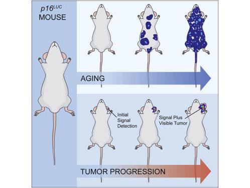 Cell:用于追踪癌症和老化的实时荧光活体小鼠