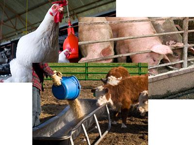 FDA计划遏制养殖业使用抗生素