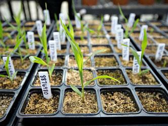 这一次,中国人被控偷窃美国玉米种子