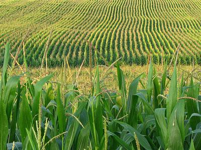 PNAS:转基因Bt玉米出现害虫耐药性