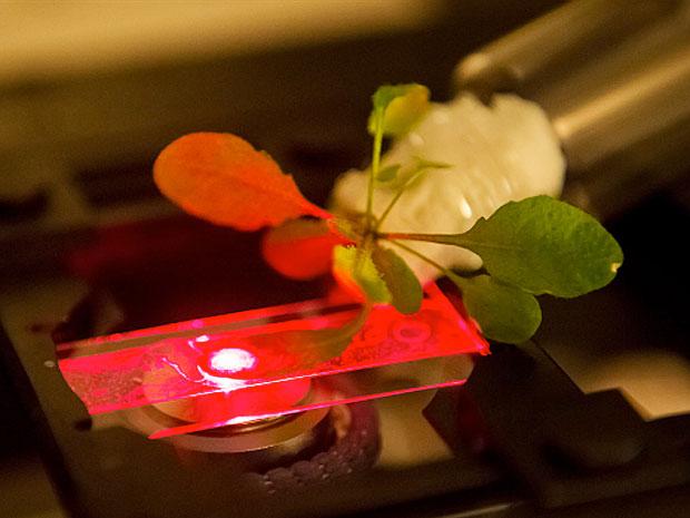 MIT科学家创造第一株生物增强植物